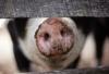 Targeting African Swine Fever