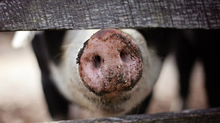 Targeting African Swine Fever